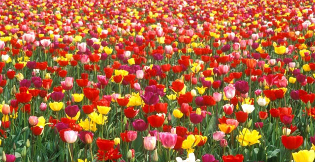 DES TULIPES CONTRE LE CANCER !